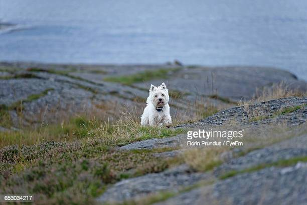 West Highland White Terrier Running On Rock