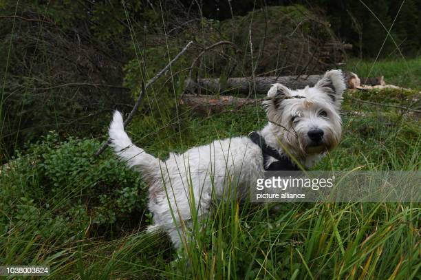 A west highland white terrier strolls through the moores of the Strausbergmoos nature reserve near Sonthofen Germany 22 Ausgust 2014 Photo Felix...