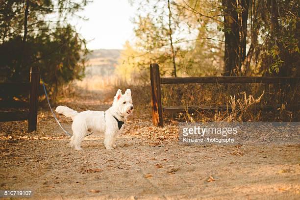 West Highland White Terrier tethered in woods