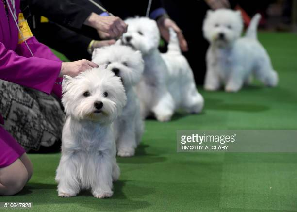 West Highland White Terriers are seen in the competition area February 16 2016 in New York during Day Two of competition at the Westminster Kennel...