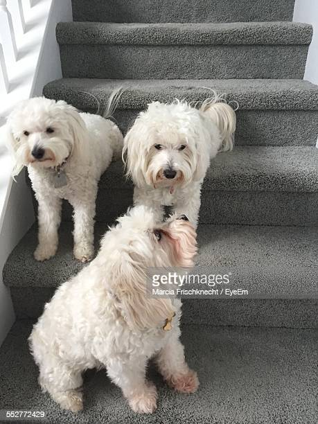 West Highland White Terriers On Staircase