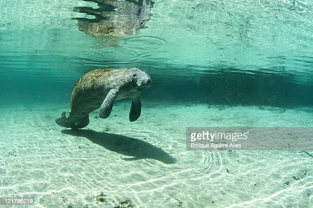 west indian florida manatee (trichechus manatus latirostris) under surface of water. listed as endangered on the basis of a population size of less than 2,500. florida, usa - florida manatee stock pictures, royalty-free photos & images