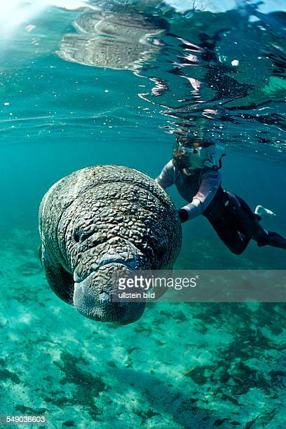 West Indian Manatee and scin diver, Trichechus manatus latirostris, USA, Florida, FL, Crystal River