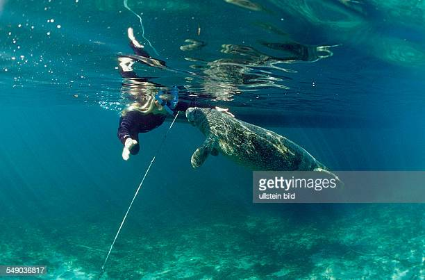 West Indian Manatee and scin diver, Trichechus manatus latirostris, USA, Florida, FL, Crystal River