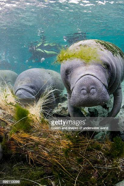 West Indian Manatee and scuba diver