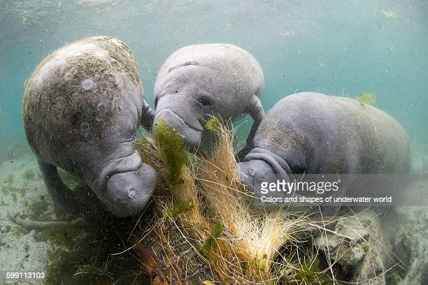 west indian manatee enjoing the water plant - florida manatee stock pictures, royalty-free photos & images