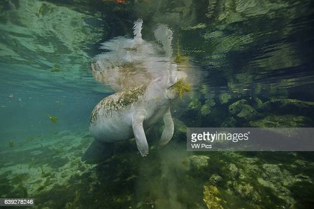 A West Indian Manatee feeding in Kings Bay Crystal River Florida The manatees love the warmer waters of the springs in this area