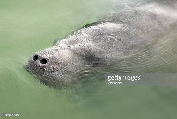 west indian manatee (trichechus manatus) in sea, florida, america, usa - florida manatee stock pictures, royalty-free photos & images