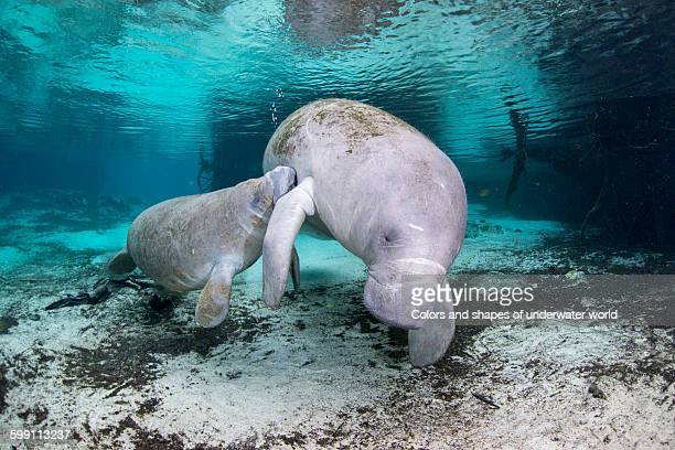 West Indian Manatee nursing mother