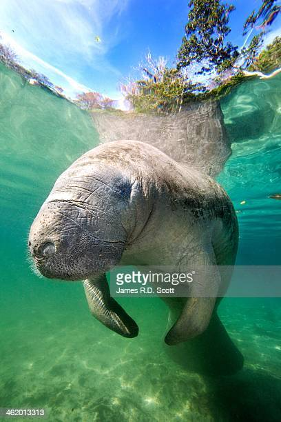 west indian manatee - florida manatee stock pictures, royalty-free photos & images