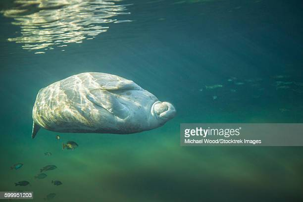 a west indian manatee rolls over upside down. - florida manatee stock pictures, royalty-free photos & images