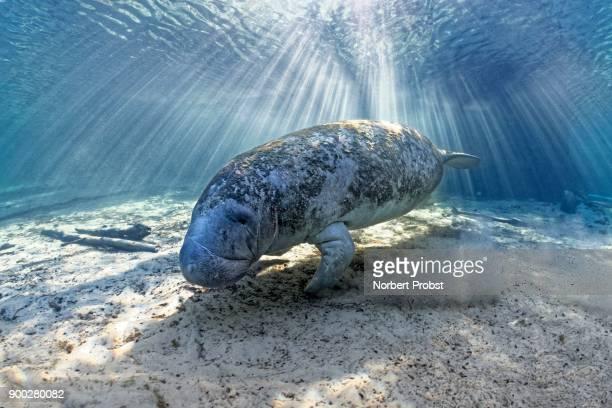 West Indian manatee (Trichechus manatus), sun rays, Three Sisters Springs, manatee sanctuary, Crystal River, Florida, USA