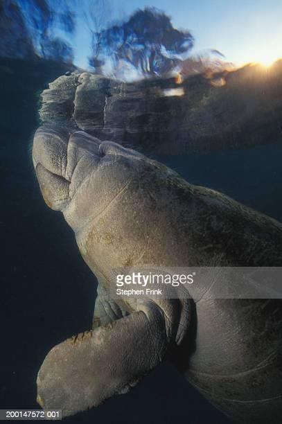 West Indian manatee (Trichechus manatus) surfacing, underwater view