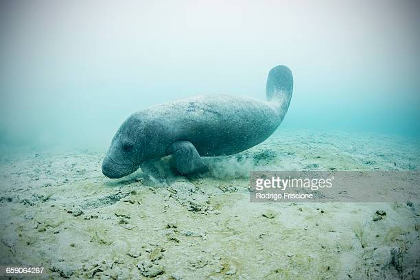 west indian manatee (trichechus manatus) swimming to drink fresh water from underwater springs on seabed, sian kaan biosphere reserve, quinta roo, mexico - florida manatee stock pictures, royalty-free photos & images