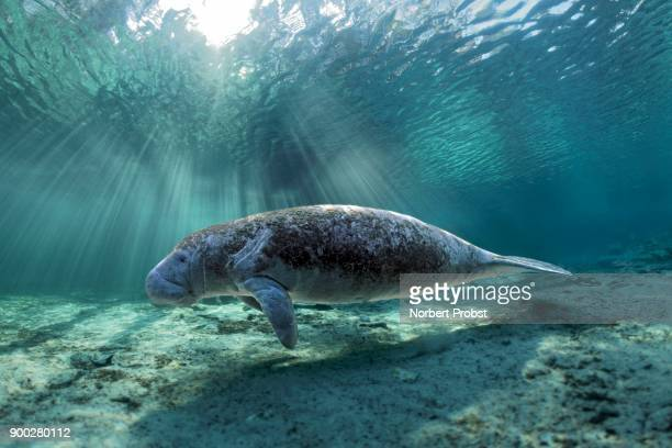 West Indian manatee (Trichechus manatus), Three Sisters Springs, manatee sanctuary, Crystal River, Florida, USA