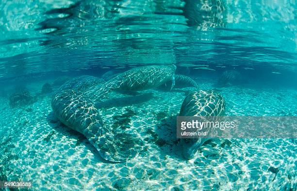 West Indian Manatee, Trichechus manatus latirostris, USA, Florida, FL, Crystal River