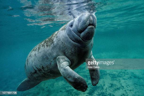 West Indian Manatee, Trichechus manatus.
