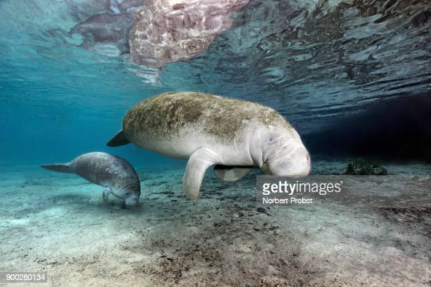 West Indian manatees (Trichechus manatus), mother, cow and calf, Three Sisters Springs, manatee sanctuary, Crystal River, Florida, USA