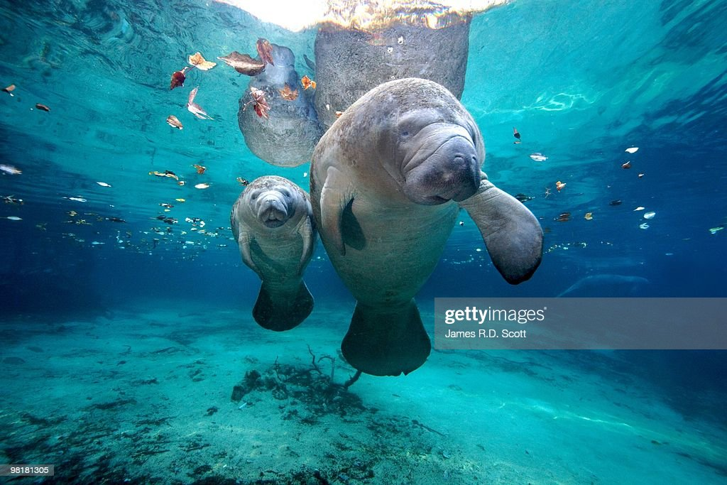 West Indian Manatees : Stock Photo