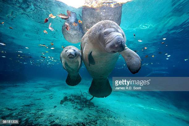 west indian manatees - florida usa stock-fotos und bilder