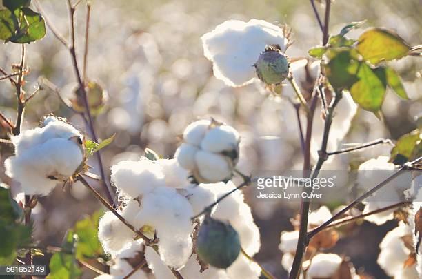 West Texas cotton plants with cotton balls