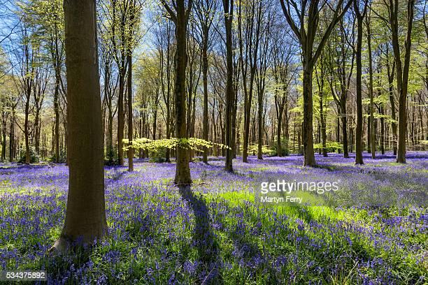 west woods bluebells 06 - ウィルトシャー州 ストックフォトと画像