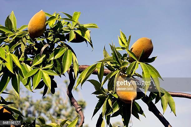 Western Australia Kimberley fruits of the Baobab tree