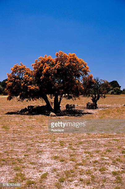 Western Australian Christmas tree shading sheep A root parasite can parasitise plants as far away as 150 m to steal their nutrients Western Australia...