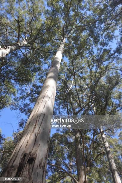 western australia's majestic tingle trees - rafael ben ari stockfoto's en -beelden