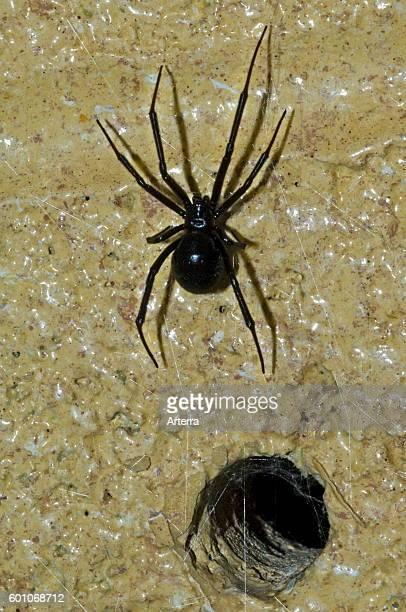 Western black widow spider / western widow female leaving burrow in wall native to western North America