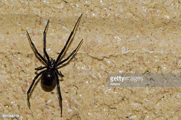 Western black widow spider / western widow female on wall native to western North America