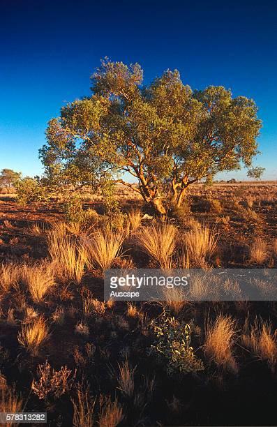 Western bloodwood Corymbia terminalis and Mitchell grass Astrebla sp near Tibooburra New South Wales Australia