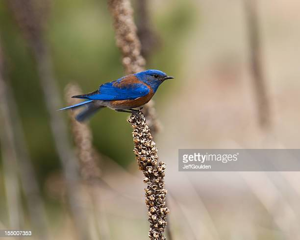 Western Bluebird Perched on a Mullein Stalk