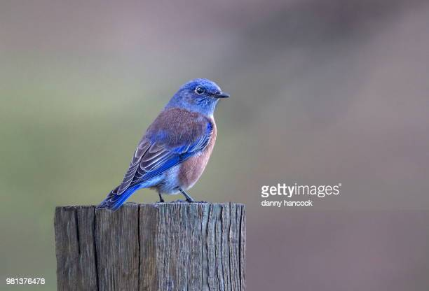 western bluebird - eastern bluebird stock pictures, royalty-free photos & images