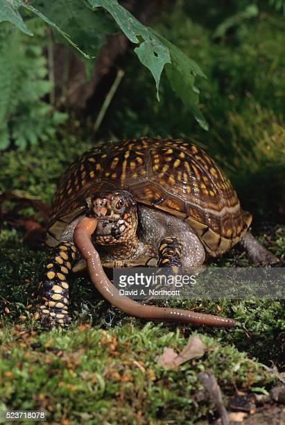 Western Box Turtle Eating an Earthworm