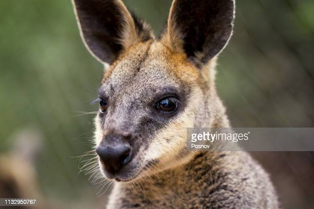 western brush wallaby - marsupial stock pictures, royalty-free photos & images