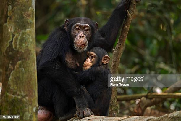 Western chimpanzee female 'Fanle' aged 13 years sitting with her son 'Flanle' aged 3 years