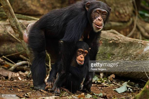 Western chimpanzee female 'Fanle' aged 13 years standing with her son 'Flanle' aged 3 years