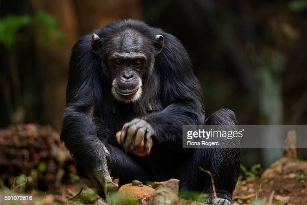 Western chimpanzee female 'Jire' aged 52 years using two rocks as tools to crack open oil palm nuts