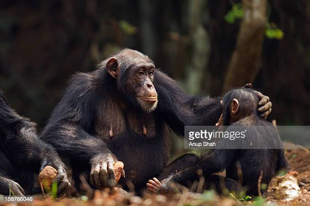 western chimpanzee infant male and mother - chimpanzee stock pictures, royalty-free photos & images