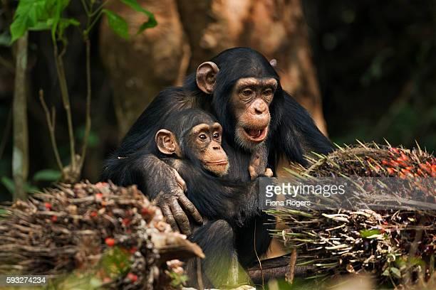 Western chimpanzee juvenile female 'Joya' aged 6 years hugging infant male 'Flanle' aged 3 years