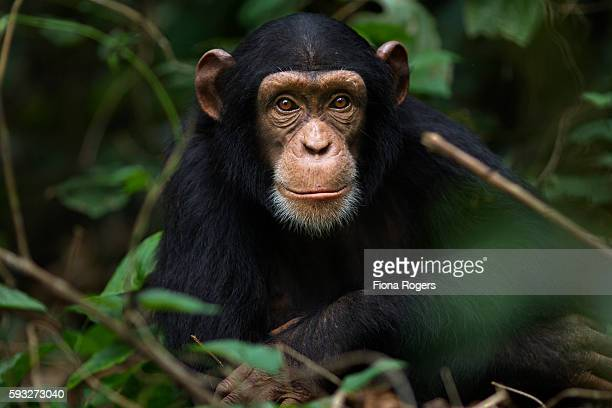 Western chimpanzee juvenile female 'Joya' aged 6 years playing in vegetation