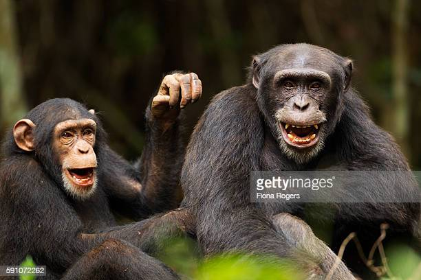 western chimpanzee juvenile female 'joya' aged 6 years playing with young male 'peley' aged 12 years - chimpanzee stock pictures, royalty-free photos & images