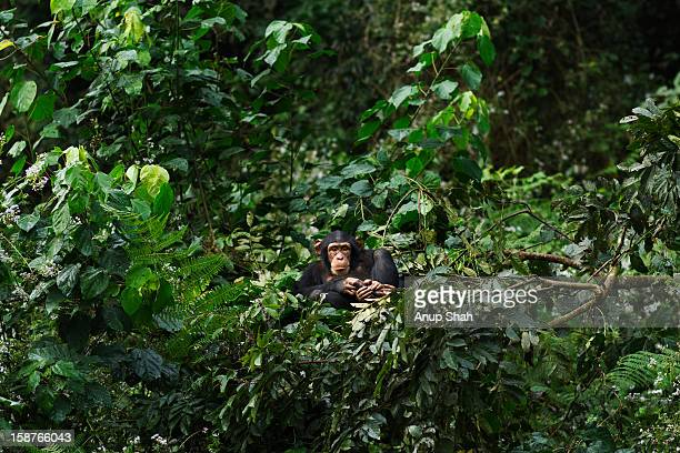 Western chimpanzee juvenile female resting in nest