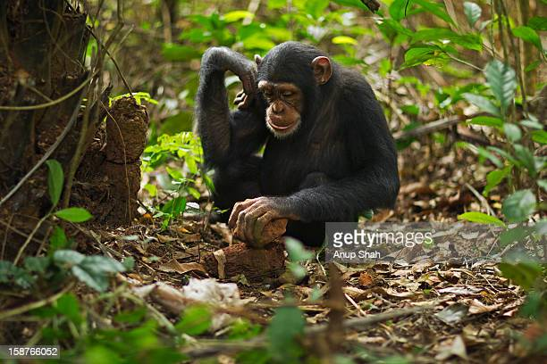 western chimpanzee juvenile female using tools - um animal - fotografias e filmes do acervo