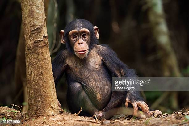 Western chimpanzee male infant 'Flanle' aged 3 years sitting by a tree