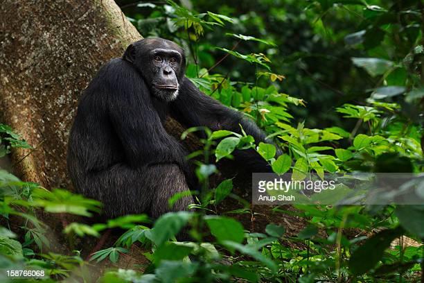 western chimpanzee male sitting on a tree buttress - áfrica del oeste fotografías e imágenes de stock