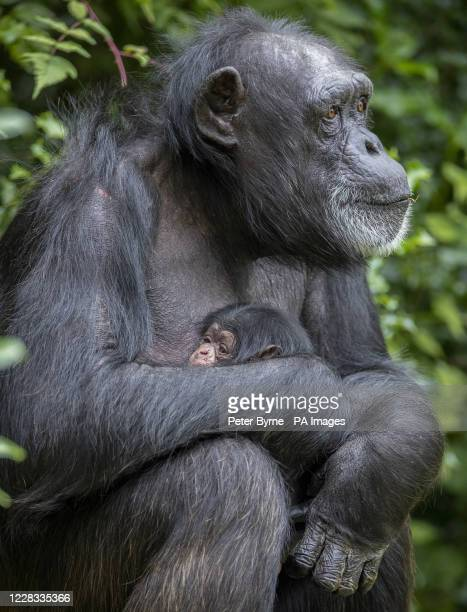 Western chimpanzee Mandy cradles her newborn baby in her enclosure at Chester Zoo. 43-year-old Mandy, who already has one daughter and two...