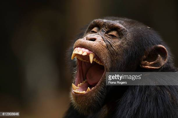 western chimpanzee young male 'jeje' aged 13 years yawning head and shoulders portrait - chimpanzee teeth stock pictures, royalty-free photos & images