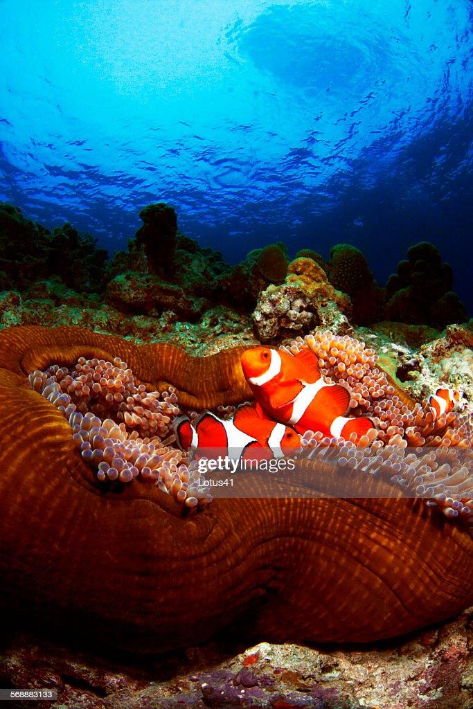 Western clown anemonefish : Stock Photo